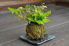 稲沢は植木の町!4月20日から29日まで『いなざわ植木まつり』が開催に