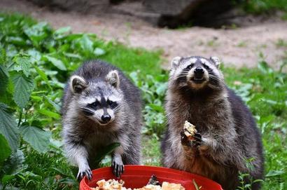 raccoon-358153_640.jpg