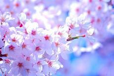 市内6箇所の桜の名所で、4月8日まで一宮桜まつりが開催!