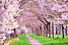 4月7日は「稲沢桜まつり」と「へいわさくらまつり」が同日イベント開催!
