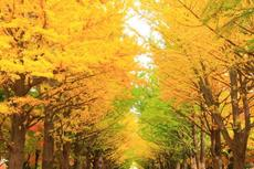 23日から開催!「そぶえイチョウ黄葉まつり」、イベントとライトアップ情報
