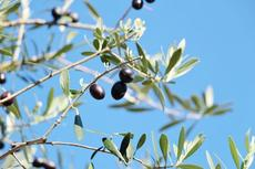 オリーブやブルーベリーの木、バラなども!市価の3割で植木が買える「稲沢市の植木祭り」