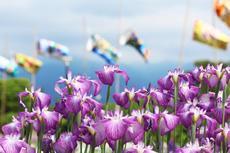5月25日から2019年度『知立公園 花しょうぶまつり』開催