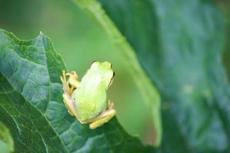 間抜けなルックスや真っ青なカエルがかわいい!アクア・トトぎふの「美しきカエル」展