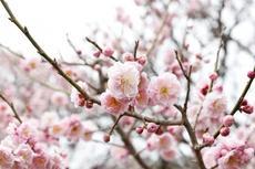3月8日まで!第29回 佐布里池梅まつりと梅干しの種飛ばし大会