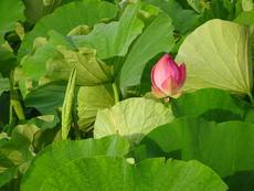愛西市「森川花はす田」に咲く蓮の花